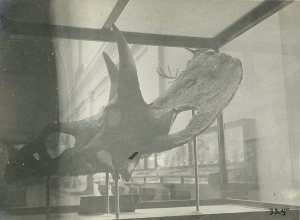 Triceratops skill. Photo ca. 1915, from author's collection.