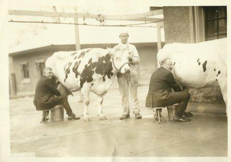 Milking contest